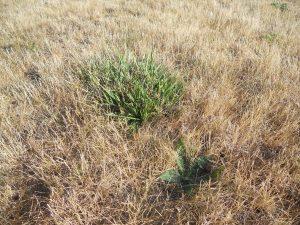 tall-fescue-drought-tolerance
